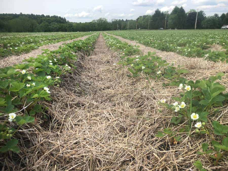 Strawberry Picking Update