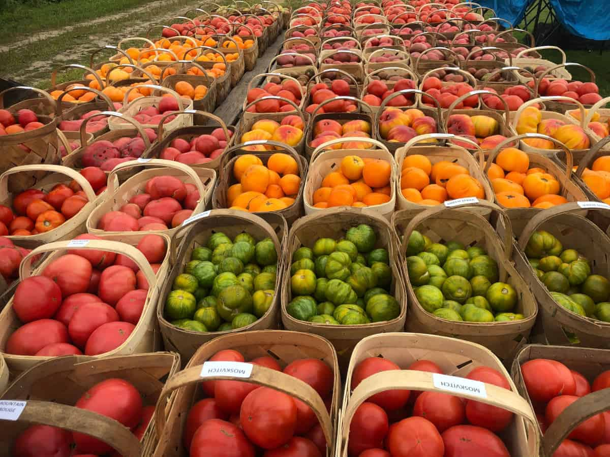 Heirloom Tomatoes Galore!